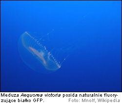 Meduza Aequorea victoria