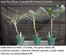 brokuły bt