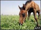 sklonowany koń