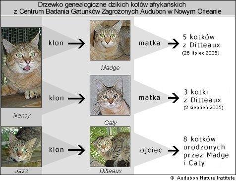sklnowane koty