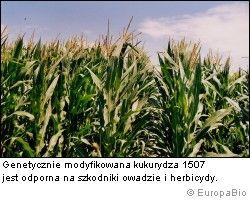 Kukurydza 1507