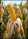 modyfikowana kukurydza gmo