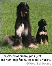 Snuppy sklonowany pies