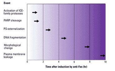 Kolejność czasowa wydarzeń podczas zaindukowanej apoptozy