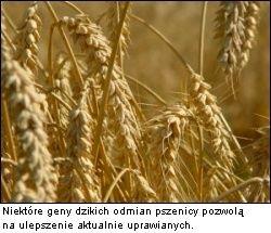 Pszenica GMO