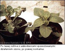 smog rośliny