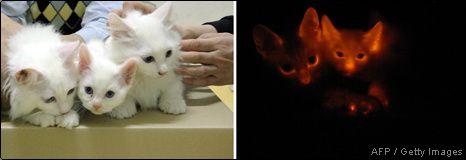 Klonowane koty, które świecą w ciemnościach