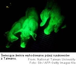 Świecące świnie