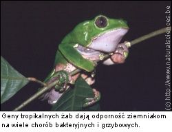 tropikalna żaba