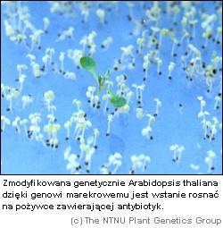 Genetycznie modyfikowana Arabidopsis thaliana