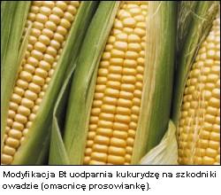 Kukurydza genetycznie modyfikowana GMO