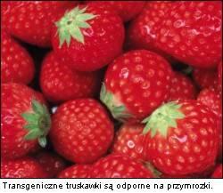 Transgeniczne truskawki