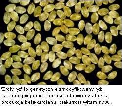 Z�oty ry� - genetycznie modyfikowany ry�