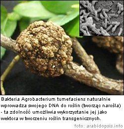 Tworzenie GMO z udziałem wektora